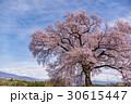 山梨 わに塚の満開の桜 30615447