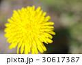 たんぽぽ キク科 花の写真 30617387