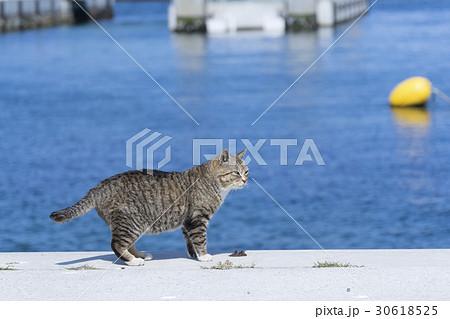 猫の楽園「田代島」ネコの島(ΦωΦ)岸壁船着き場に暮らす可愛いボス猫 30618525