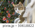 猫の楽園「田代島」ネコの島(ΦωΦ)高台に咲くツバキを大切に守る可愛い看板猫ちゃん 30618822