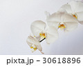 胡蝶蘭 30618896
