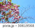 奈良の八重桜 30619568