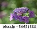 紫の紫陽花 30621888