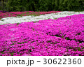 芝桜 ピンク 白 30622360