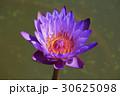 Purple lotus flower in tropical garden 30625098