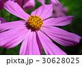 菊 キク 菊の花の写真 30628025