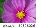 菊 キク 菊の花の写真 30628026