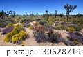 モハビ砂漠 春 泉の写真 30628719
