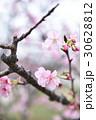 櫻花 30628812