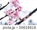 櫻花 30628816