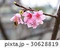 櫻花 30628819