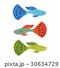 グッピー 魚 美しいのイラスト 30634729