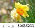 クチベニスイセン(口紅水仙) 30635233