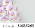 胡蝶蘭 30635265