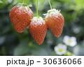 イチゴの季節 30636066
