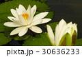 睡蓮花語是純潔 30636233