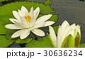 睡蓮花語是純潔 30636234