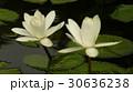 睡蓮花語是純潔 30636238