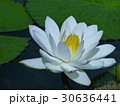 睡蓮花語是純潔 30636441