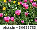Beautiful bright tulips 30636783