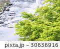 モミジ 川 若葉の写真 30636916
