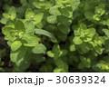 ミントの葉にとまるてんとう虫 30639324