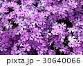 芝桜 花 ハナシノブ科の写真 30640066