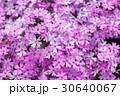 芝桜 花 ハナシノブ科の写真 30640067