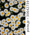 ノースポール ~白い花~ 30642739