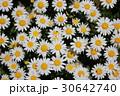 ノースポール ~白い花~ 30642740