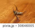 死んだ蚊 30646005