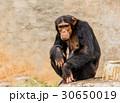 動物 類人猿 チンパンジーの写真 30650019