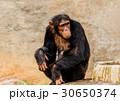 動物 類人猿 チンパンジーの写真 30650374