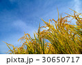 稲穂と青空 30650717