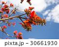 デイゴの花・沖縄の県花 30661930