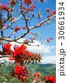 デイゴの花・沖縄の県花 30661934