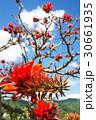 デイゴの花・沖縄の県花 30661935