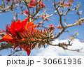 デイゴの花・沖縄の県花 30661936