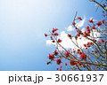 デイゴの花・沖縄の県花 30661937