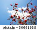 デイゴの花・沖縄の県花 30661938