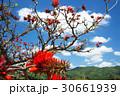 デイゴの花・沖縄の県花 30661939