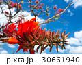 デイゴの花・沖縄の県花 30661940