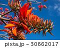 デイゴの花・沖縄の県花 30662017