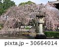 道成寺のエドヒガン桜 30664014