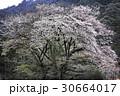 熊野の山桜 30664017