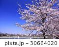 大和高田の桜 30664020