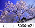 根来寺付近の枝垂れ桜 30664021