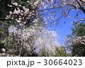 粉河寺の桜 30664023