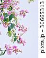 タイの桜、バナバ、オオバナサルスベリ(Banaba, Lagerstroemia speciosa) 30665313