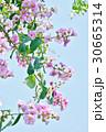 バナバ、オオバナサルスベリ(Banaba, Lagerstroemia speciosa) 30665314